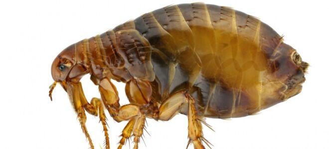 Кто такие земляные блохи, опасность от паразитов и обработка дома