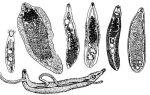 Что такое трематоды