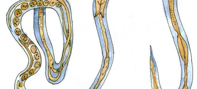 Что такое угрица кишечная, заражение и распространение