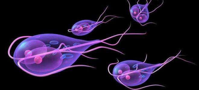 Жизненный цикл и строение токсоплазмы