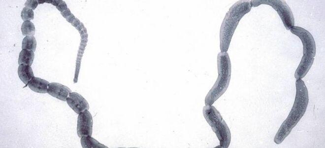 Строение и жизненный цикл Огуречного цепня