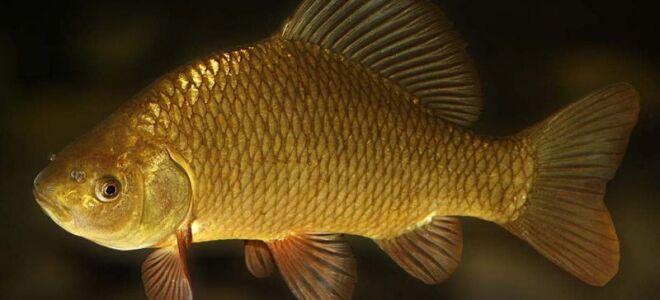 В какой рыбе может быть описторхоз, меры предосторожности