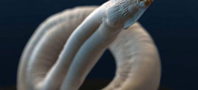 Кто такие токсокары, жизненный цикл паразитов и пути заражения