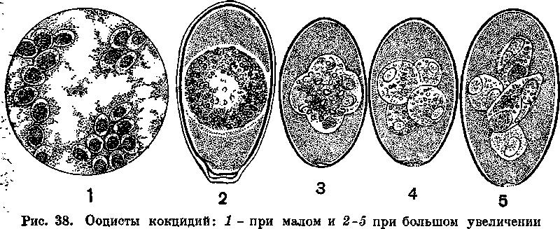 koktsidioz-u-cheloveka-01