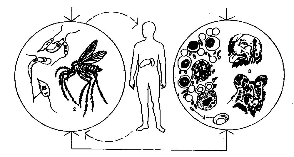 Жизненный цикл лейшмании