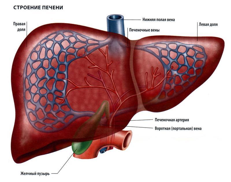 Лямблии в печени у взрослых: симптомы и лечение