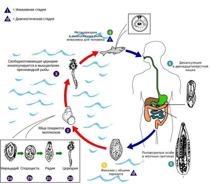 Жизненный цикл и заражение описторхозом