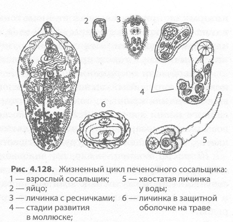 pechenochnyj-sosalshhik-02