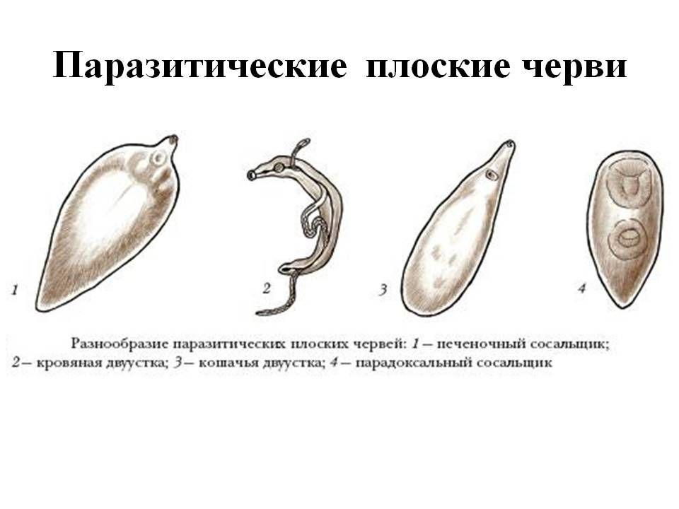 Плоские черви паразиты