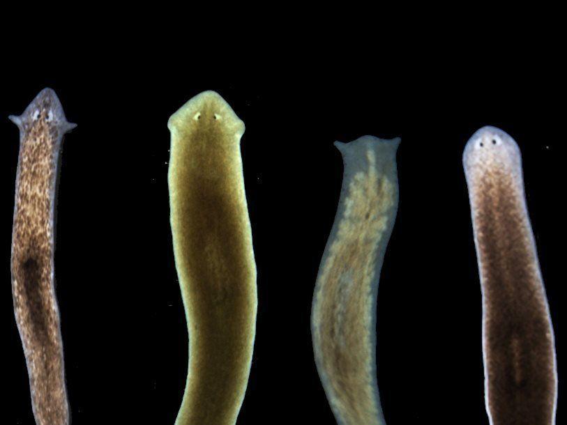 Головы плоских червей