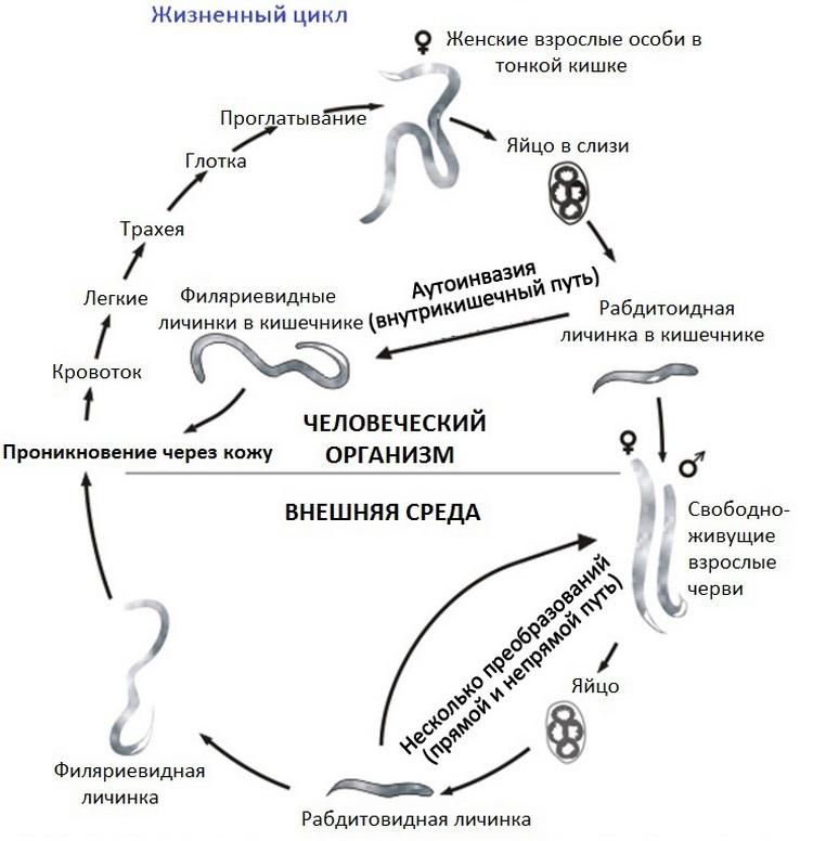 Жизненный цикл кишечной угрицы