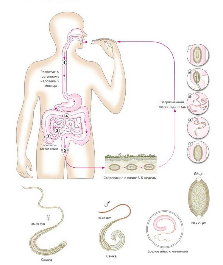 Схема заражения паразитом хлыстовиком