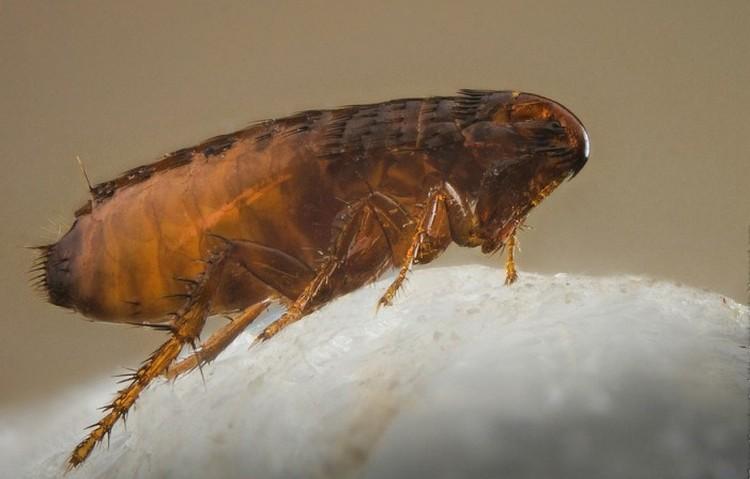 насекомые паразиты в человеке