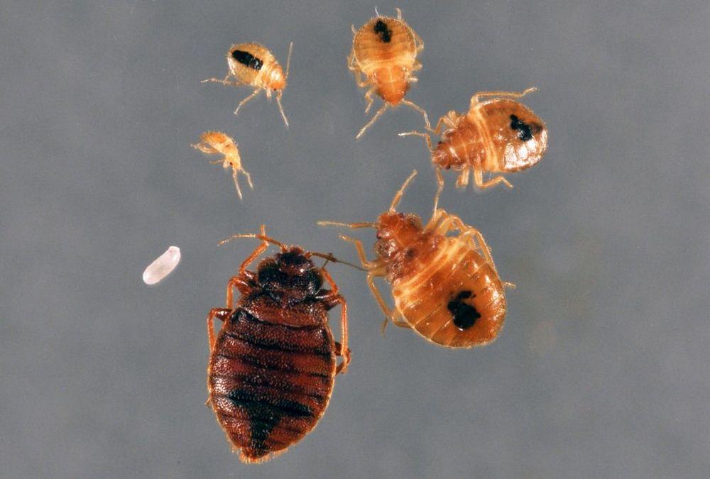 Клопы от личинки до взрослой особи